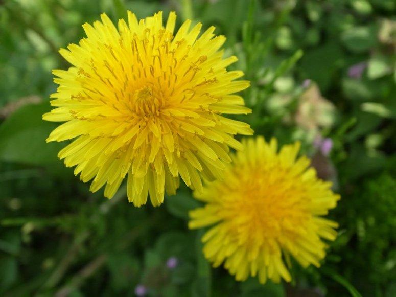 dandelions-survival-plan1962471936.jpg